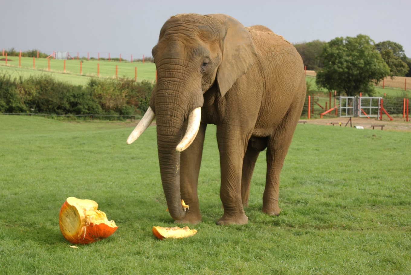 ELEPHANT SQUASHES 14 STONE PUMPKIN AT NOAH'S ARK ZOO FARM